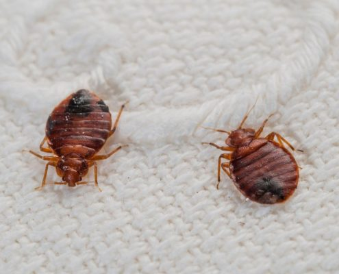 bed bugs bed bug identification and elimination St. Charles pest control