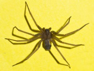 St. Charles pest control brown recluse spider