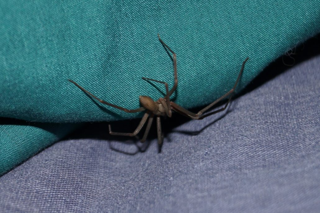 brown recluse spider fact fiction amco ranger