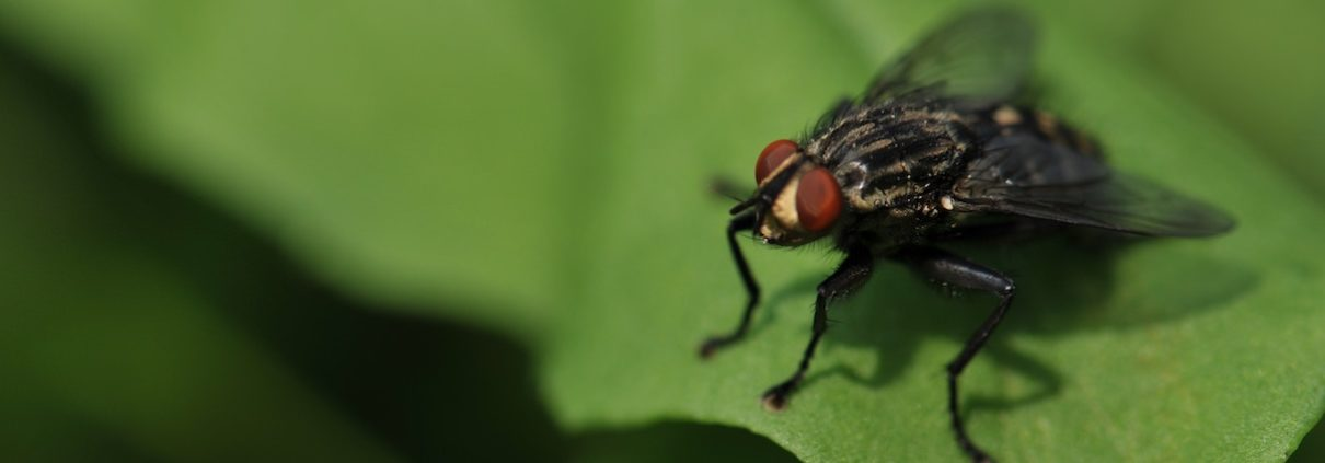 House fly in spring buzzing on a leaf